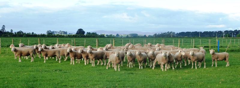 Poll-Dorset-Flock-Rams-history