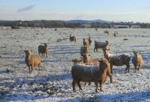 Southdown-Snow