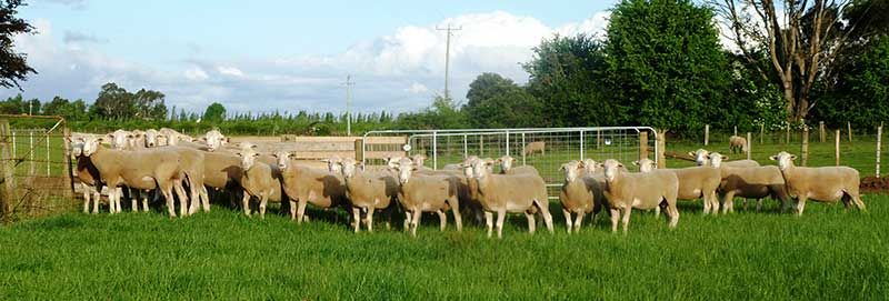 White-Suffolk-Flock-Rams-2014